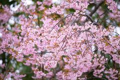 Pink flower background, Wild Himalayan Cherry flower. Royalty Free Stock Image
