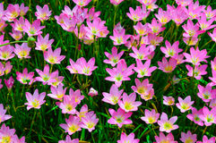 Pink flower backgrounds. Pink color flower closeup backgrounds Stock Photography
