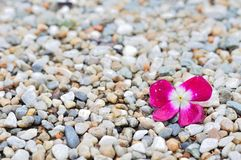 Pink flower on beach pebbles for background Royalty Free Stock Images