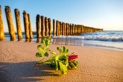 Pink flower on the beach Royalty Free Stock Photography