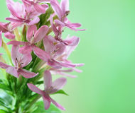 Pink flower. Beautiful abstract floral background with pink flower buds . Border design in green stock image