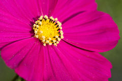 Pink Flower Royalty Free Stock Image