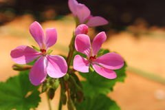 Pink flower. Beautiful flowers in soft pink stock photo