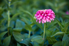 Pink Flower. Beautiful Pink Flower In The Garden Royalty Free Stock Photo