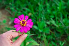 Pink flower in hand. Pink flower beautiful in hand royalty free stock photography