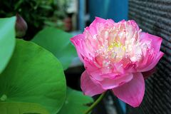 The pink flower royalty free stock images