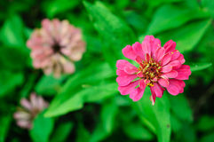 Pink flower. Beautiful pink flower in the morning Stock Images