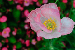 Pink flower. Beautiful pink flower from Thailand Royalty Free Stock Photo