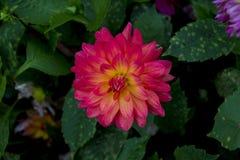 Pink flower. Beautyful pink flower in park stock photos