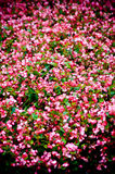 Pink flower bed Royalty Free Stock Photo