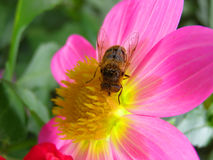 Pink Flower And Bee. At Onesti Parc in Romania stock photos