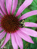 Pink Flower and Bee. Bee on pink coneflower Royalty Free Stock Photography