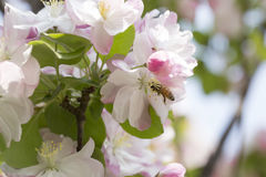 Pink flower and bee Stock Images