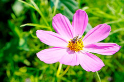 Pink flower. Bee perched on a blooming pink flower Stock Photo