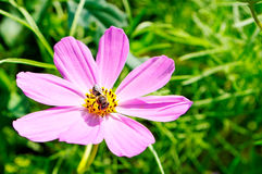 Pink flower. Bee perched on a blooming pink flower Royalty Free Stock Image
