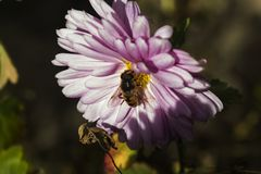 Pink flower and the bee stock image