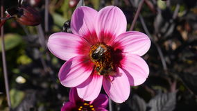 Pink Flower with bees collecting pollen Royalty Free Stock Photos