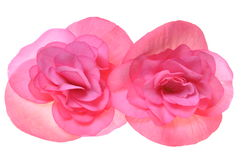 Pink flower begonia isolated on white Royalty Free Stock Image