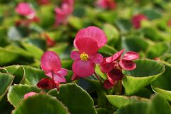 Pink flower of begonia with leaves royalty free stock image