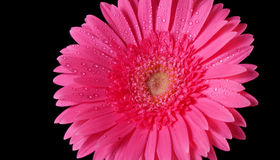 Pink flower on black Royalty Free Stock Image