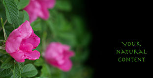Pink flower on black Royalty Free Stock Photo