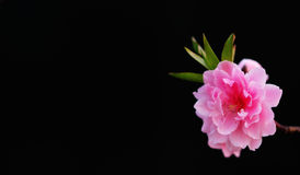 Pink flower on black. Single pink flower on black background Royalty Free Stock Images