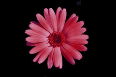 Pink flower. On a black background isolated Stock Photos