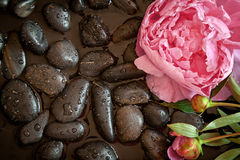 Pink flower on black pebbles. Pink peony flower on black pebbles with water. Spa scene Royalty Free Stock Photo