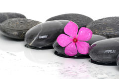 Pink Flower Black Stones Royalty Free Stock Photo