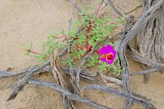 Pink flower blooming in the Atacama Desert, Argentina Royalty Free Stock Photography