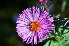 A  pink flower blooming chrysanthemum Stock Photos