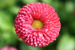 Pink flower. Pink blooming flower in detail Stock Images
