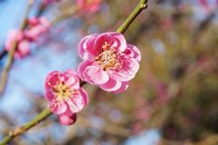 Pink flower blooms of the Japanese ume tree. Pink flower blooms of the Japanese ume apricot plum tree, prunus mume, in the spring Royalty Free Stock Photo
