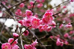 Pink flower blooms of the Japanese ume tree. Pink flower blooms of the Japanese ume apricot plum tree, prunus mume, in the spring Stock Images