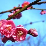 Pink flower blooms of the Japanese ume tree. Pink flower blooms of the Japanese ume apricot tree, prunus mume, in the spring Royalty Free Stock Image