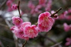 Pink flower blooms of the Japanese ume tree. Pink flower blooms of the Japanese ume apricot tree, prunus mume, in the spring Stock Image