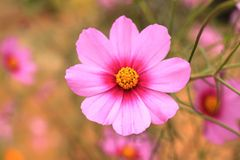 Pink flower blooming Stock Image