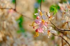 Pink flower blossom. Cassia bakeriana Stock Images