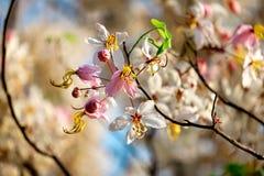 Pink flower blossom. Cassia bakeriana Stock Photos