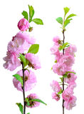 Pink flower blossom, isolated on white background.  Royalty Free Stock Photography