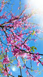Pink Flower Blossoms In Spring. A Pink Flower Blossoms In Spring Stock Photo