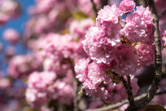 Pink Flower Blossoms. In tree Stock Images