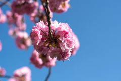 Pink Flower Blossoms. In tree Royalty Free Stock Photos