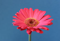 Pink flower on blue. Single pink gerbera flower on a sky blue background Royalty Free Stock Photos
