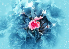Pink flower on blue  background Royalty Free Stock Images
