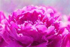 Pink flower on blue background stock images