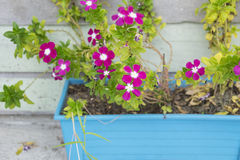 Pink flower in a blue pot near wooden wall. Royalty Free Stock Photo