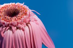 Pink flower on blue shallow dof Royalty Free Stock Image