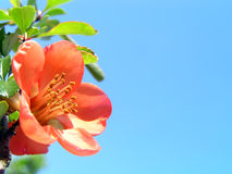 Pink flower and the blue sky Royalty Free Stock Photo