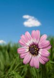 Pink flower on blue sky. Pink flower on green field and blue sky - shallow dept of field Stock Images
